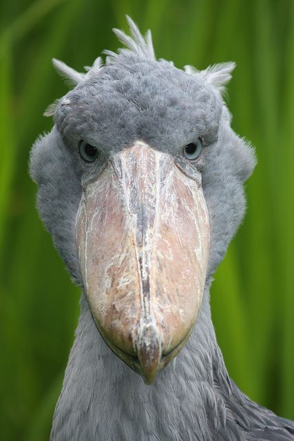 Shoebill by bayucca (Balaeniceps rex) also known as Whalehead or Shoe-billed Stork, is a very large stork-like bird. It derives its name from its massive shoe-shaped bill