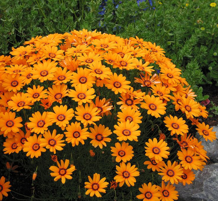 Ursinia anthemoides 'Solar Fire' -South African Marigold