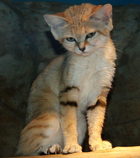 Песчаная, барханная, или пустынная кошка (Felis margarita)