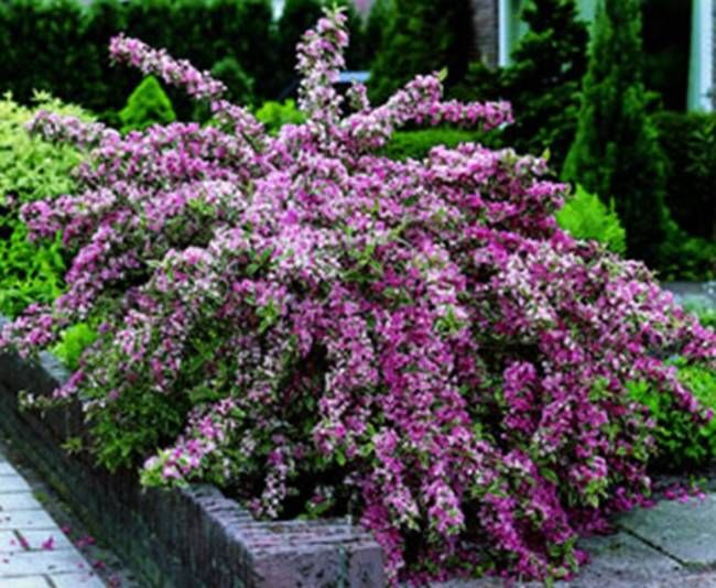 florida variegated weigela w flowers pinterest On flowering landscape plants