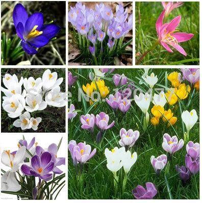 Saffron, Saffron seeds,saffron flower seeds In bloom all year round, garden decoration -100 seeds
