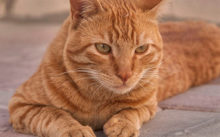 Download wallpapers Arabian Mau, ginger cat, 4k, portrait, domestic cat, cute animals, cats