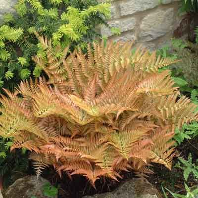 Dryopteris erythrosora Copper Shield Fern, Autumn Fern. a real treasure from China, Japan andTaiwan. The bold, broadly triangular fronds emerge in dazzling coppery in tints, later turning a rich glossy green, decorated on the reverse with red spores. 60cm. tolerates dry well when established. This is a pretty well evergreen fern whose shiny fronds stand winter