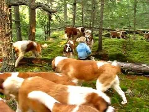 Huge Pack Of Saint Bernards In The Canadian Forest