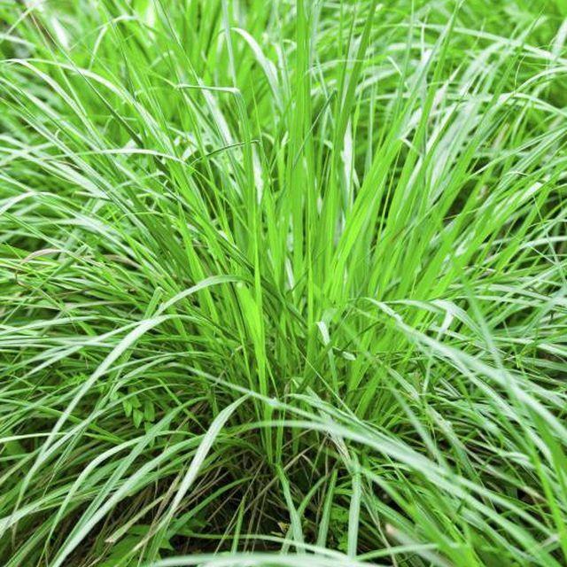 Lemon grass plants make an atractive and fragrant border.
