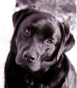 le caractère atypique du labrador