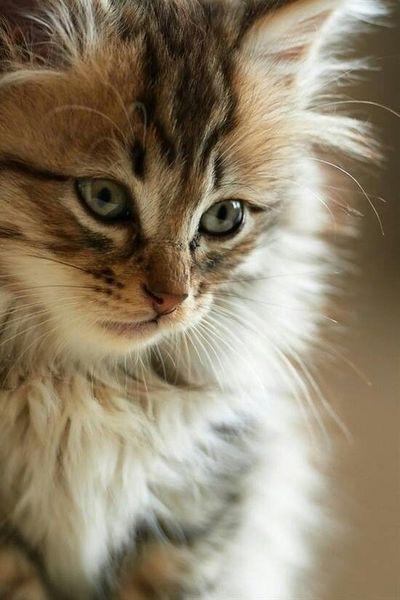 15 beliebtesten Katzenrassen
