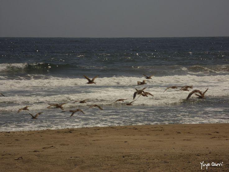 Aves. Laguna de Zapallar, V región. Chile.