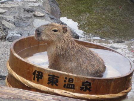Too cold, I need a hot bath. Capybara enjoying hot spring