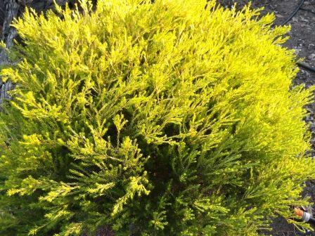 Golden Diosmas Look Wonderful in Any Garden thelinkssite.com