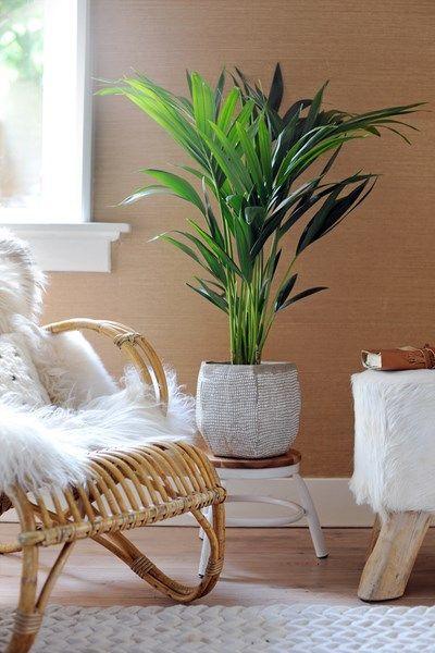 De Kentia (of Howea) is een imposante, frisgroene palm met een tropische achtergrond. In de Verenigde Staten staat de plant bekend als de 'H...