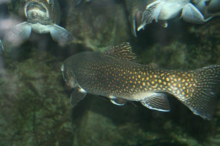 En aquariophilie, la règle est d'avoir 1 litre d'eau pour 1 centimètre de poissons. Par exemple, pour 1000 litres d'eau, il faudrait mettre 100 poissons de 10 centimètres. En aquaponie ...