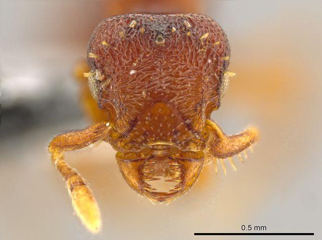 University of Utah scientist discovers terrifying ant species | The Salt Lake Tribune