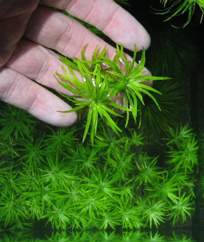 Aquarium plants low light popular low light aquarium for Native aquatic plants for sale