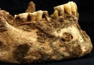 The mandible of a 30-something man buried in Rome's Castellaccio Europarco cemetery in the Imperial Period shows signs of cavities and an abscess. The bones revealed a high proportion of millet in the man's diet.