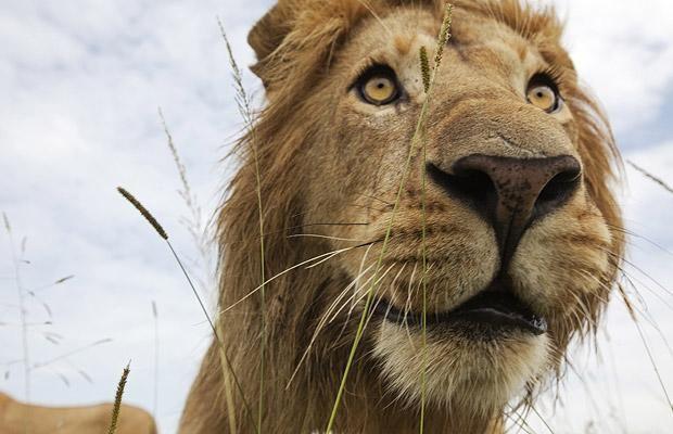8k Animal Wallpaper Download: Best 25+ Lion Pictures Ideas On Pinterest