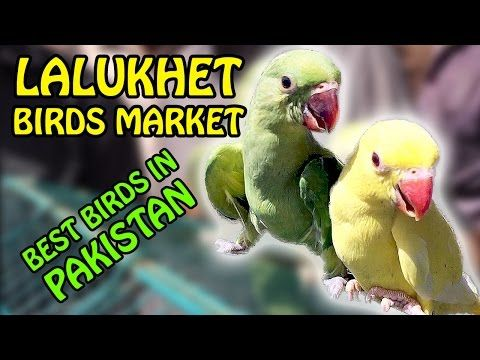 Karachi Birds Market | Lalukhet Birds for Sale | Best Birds in Pakistan | Video in Urdu/Hindi -  #birds #birding #bird_watchers_daily #animal #birdwatching #pets #nature_seekers #birdlovers Dog Training – The Perfect Pooch System!  Click HERE! Another interesting and informative visit to Pakistan's best birds market in Lalukhet Karachi. Each of my visits is getting better and more... - #Birds