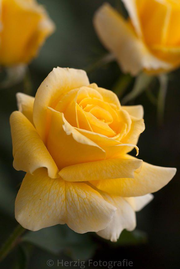 Goldina rose, Hybrid Tea rose. Cants of Colchester (United Kingdom, 1983).   © Tina & Horst Herzig