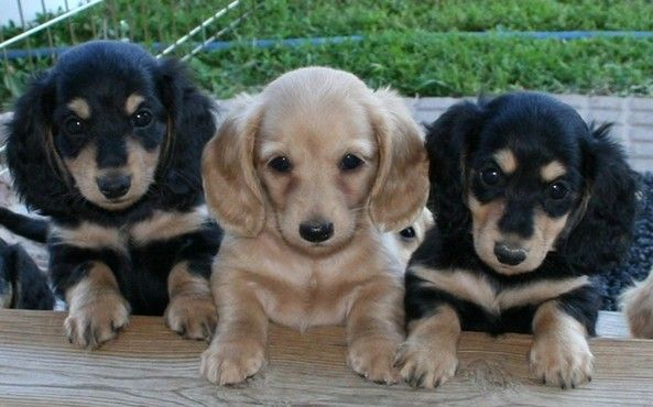 Miniature Dachshund Puppies.