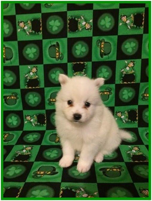 American Eskimo Dog puppy for sale in CLARKSVILLE, TN  ADN