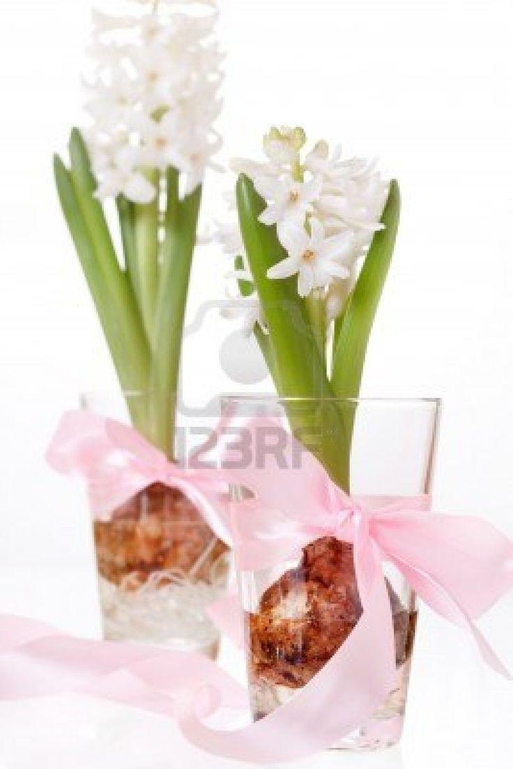 Hyacint bollen en bloemen in een glas   Dit kan ook met andere bolletjes, bijv. tulpen Bollen uit pot halen en goed afspoelen, dan in een pot met bodem water zetten. De wortels moeten net onder water staan. Eventeel leuk decoreren door op een stuk berkenbast de glazen potjes te zetten.