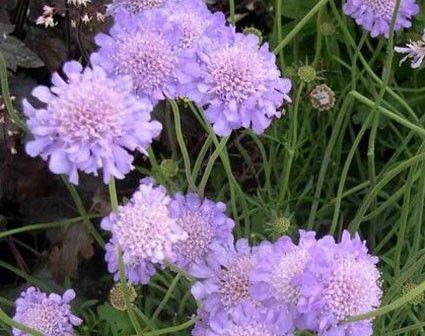 Scabiosa Columbaria Butterly Blue