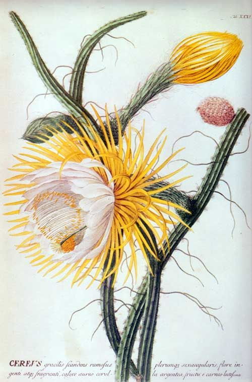 This 1752 hand-colored engraving is after a painting by Georg Dionysius Ehret (1708-1770). The plant is Selenicereus grandiflorus, a night-blooming cactus which is colloquially known as Queen of the Night, Moon Cereus, or Vanilla Cactus. Selenicereus derives from the Greek word, selene, which means moon, a reference to the plant's blooming at night.