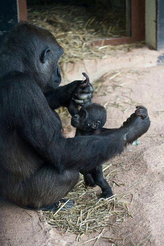 Proud Gorilla mommy playing with her baby. Cute baby