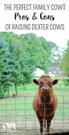 The Perfect Family Cow? The Pros & Cons of Raising Dexter Cows (from someone who used to own them but doesn't anymore)