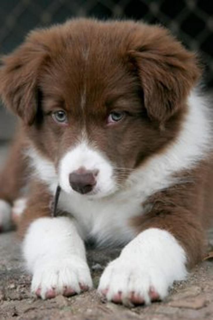 Chocolate Brown Border Collie Puppy