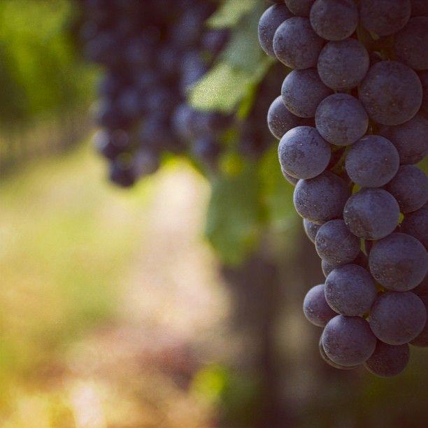 """In Franciacorta non abbiamo solo Chardonnay e Pinot nero, ma anche il Merlot. #merlot #franciacorta #uva #grapes #grape #vine #vineyards #vigna #vigneto #uvaggio #brescia #instawine #instapic #instaitalia #instagramitalia #italy #italia #brescia #adro #violet #green #lovewine #love #sparklingwine #wine #vino"""""""