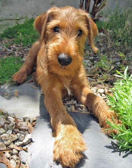 Irish terrier.............Oh, an Irish T is a great dog!