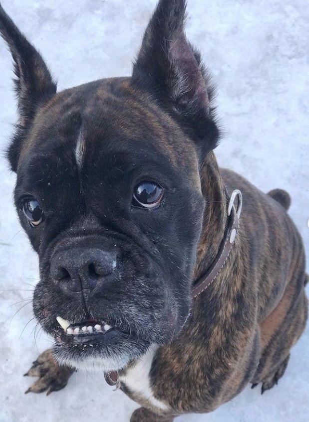 105 Boxer Dog Names For Female Dogs Dog Names Female Dog Names Boxer Dog Names