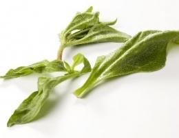 Het IJskruid heeft zijn oorsprong in het zuidelijk halfrond van Zuidwest-Afrika en de Kaapregio. Tegenwoordig komt het voor in het Middellandse zeegebied, op de Canarische eilanden, Californië, Mexico en ook in Zuid-Australië. De bladeren van het IJskruid zijn eetbaar en smaken een beetje zout. De bladeren kunnen het best verwerkt worden voor salades of worden gekookt net zoals spinazie hierbij is de steel ook te gebruiken.    Artikelnummer: 100883