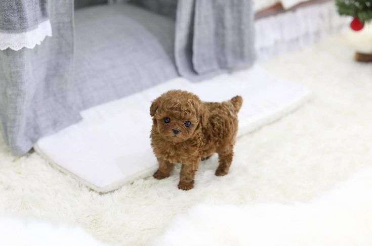 Poodle Puppies for Sale   Teacup, Micro & Tiny Poodle Puppies   White Teacup Poodles   Boutique Teacup Puppies
