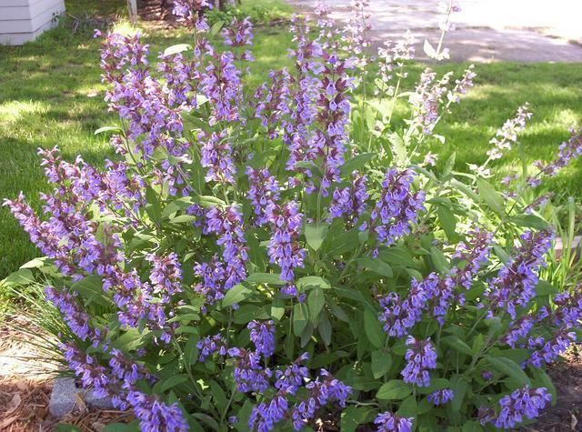 """Salvia officinalis"" - Salvia"