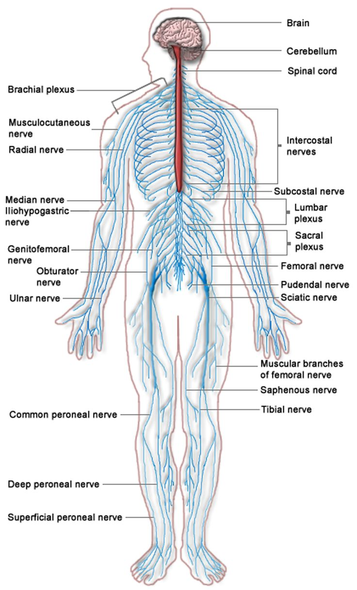 human body systems articles – tribeunity, Muscles