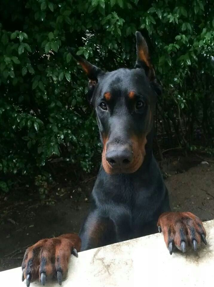 .This one looks similar to the one I saved recently and adopted. :) Who is by far the sweetest Dobie I've yet to meet, and happens to be the big European type and I highly doubt anyone will be stealing from us anytime soon ;)
