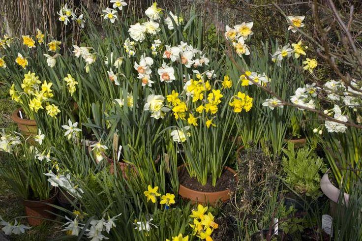Daffodils - Kelly Archer Wildlife & Pet Portraits