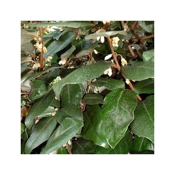 Elaeagnus ebbingei - Plantes et Jardins