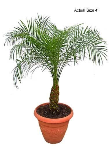 25+ unique Date palms ideas on Pinterest | Small palm trees, Palm ...