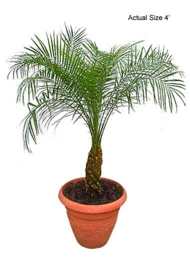 Real Palm Trees-Pygmy Date Palm Tree - If you would like more information about the beautiful Pygmy Date Palm, also known botanically as Phoenix Roebelenii, give Real Palm Trees a call at 877-RPT-AGRO (778-2476) and take a virtual tour of the nursery at www.realpalmtrees.... Great for birthdays, anniversaries, offices, apartments, interior and exterior landscaping and so much more!