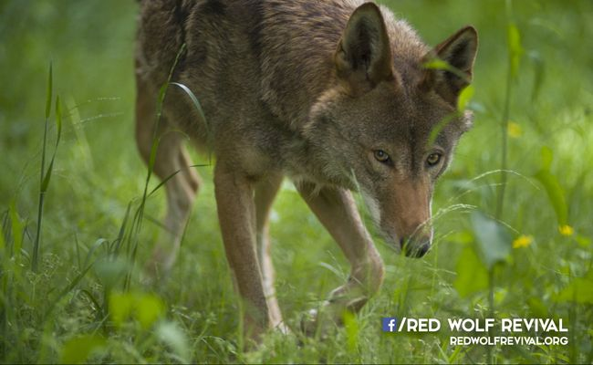 New Film Highlights the Plight of the Last Red Wolves - Conservationists continue to sound the alarm about the plight of species who are in danger of vanishing around the world. Yet, one of the rarest mammals in North America and one of the most endangered canid species in the world, is quietly slipping away with much less fanfare.