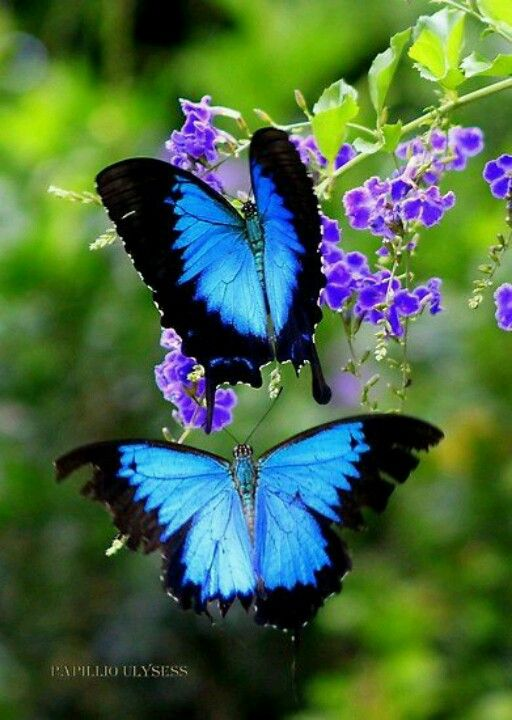 Ulysses butterfly, found on dunk island QLD. Has always bn a fave of mine
