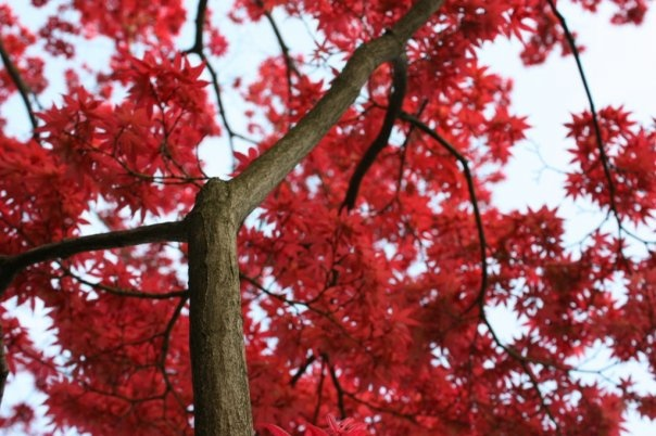 Maple by Letizia Valle, via Flickr