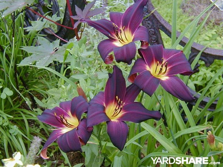 www.larksperennials.com  Mid-July SUN and SHADE Gardens: I love the deep color of this daylilly.