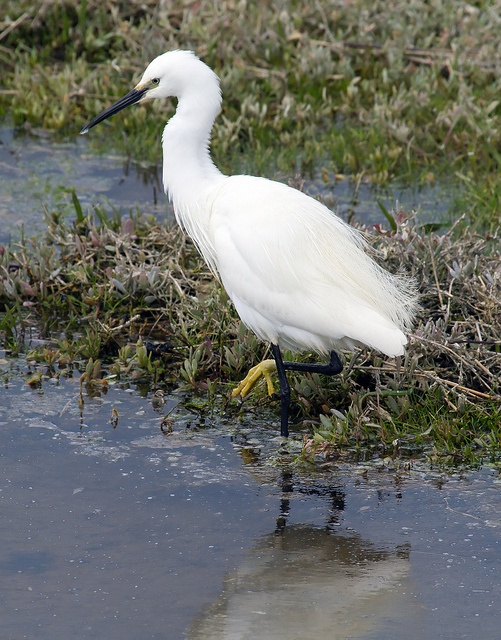 Little Egret  Fishing in the pool at NWT Cley Marshes