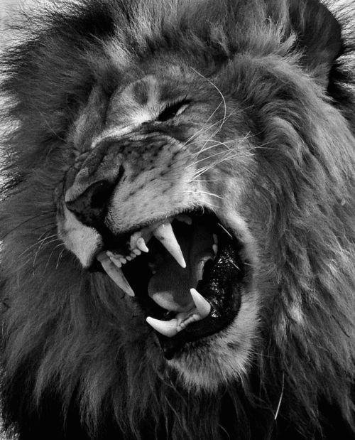 beautiful black and white photo of roaring lion