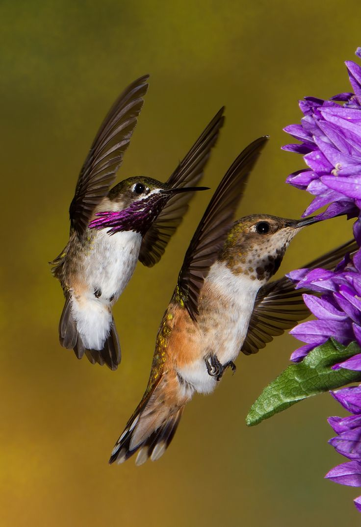 Male calliope joins female Rufous for a drink of nectar...calliope is the smallest of the North American Hummingbirds