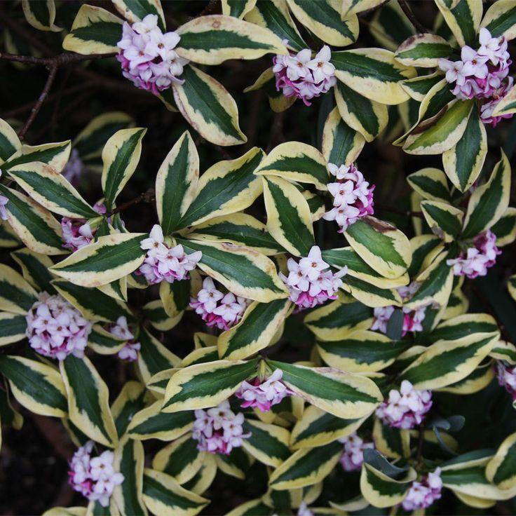 Daphne odora 'Maejima'  The most dramatically variegated Daphne yet is this semi-dwarf Japanese selection. Each deep green leaf is generously outlined in cream to yellow. Clusters of deep carmine-pink blooms are unbelievably profuse and fragrant. Tolerant of drought and unappetizing to deer, this winter bloomer is a glorious addition to the border or foundation. Zones 7-10.